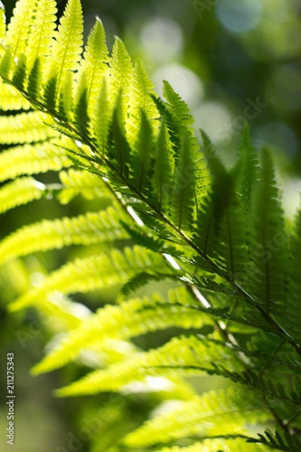 Ferns (Polypodiophyta) are a detachment of sprue vascular plants, or Pteridophyta, whose representatives are widely distributed throughout the Earth. - 211275343