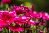 Champ de fleurs mauves - 211279394
