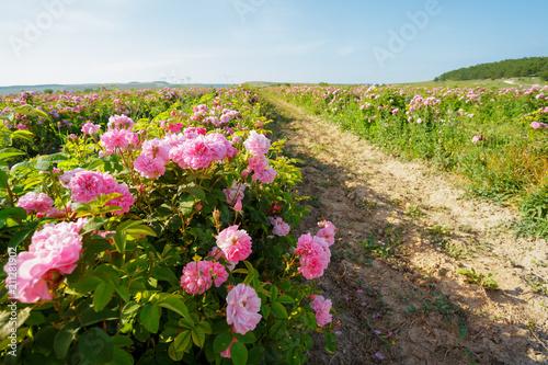 Fototapeta Field of roses
