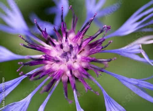 canvas print picture Blue spidery flower with reddish centre of Mountain Bluet in High Tatras. Slovakia. Centaurea montana. Great blue-bottle. Macro.
