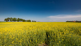 Amazing yellow field of rape in sunny day - 211311528