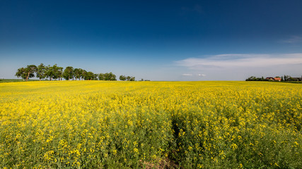 Amazing yellow field of rape in sunny day © shaiith