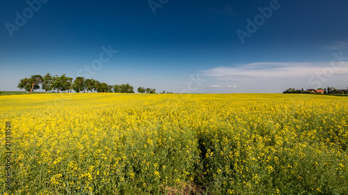 Amazing yellow field of rape in sunny day