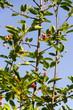 Fruit berries of shadbush shrub Amelanchier also known as shadwood, shadblow, serviceberry, sarvisberry, sarvis, juneberry, Saskatoon, sugarplum, wild-plum, chuckley, pear, sunny day