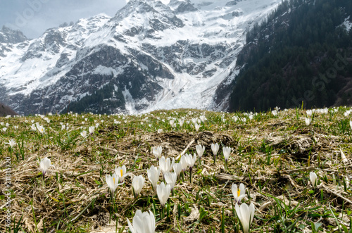 Fototapeta A zoom of alpine white spring flowers with snowy mountain peaks in the background