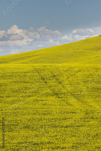 Fotobehang Honing Canola fields in Palouse
