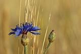 Kornblumen (Centaurea cyanus) am Feldrand