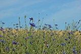 Kornblumen (Centaurea cyanus)  mit Biene am Feldrand