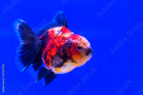 Leinwandbild Motiv Gold Fish Oranda Scientific name Carassius auratus is a freshwater fish. Cyprinidae are native to China and Japan.