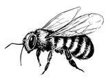 Bee sketch. Hand drawn illustration converted to vector