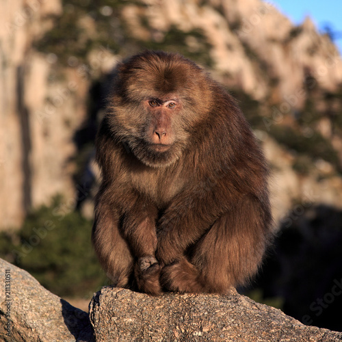 Fotobehang Aap Fluffy Monkey Sitting on a Rock, Monkey is Looking at the Viewer