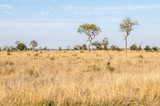 Kruger National Park, savannah vegetation, yellow grass. South Africa © Codegoni Daniele