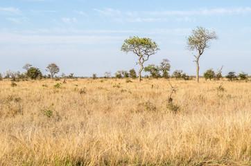 Kruger National Park, savannah vegetation, yellow grass. South Africa