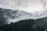Foggy Pine Forest. Dense pine forest in morning mist. - 211362198