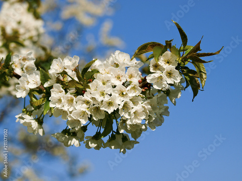 Fototapeta Cherry tree, blossom