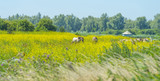 Horses in a field with wild flowers along a lake in summer  - 211375796