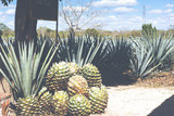 Cactus plants for tequila making. Image has a vintage effect applied. - 211377191