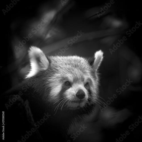 Plexiglas Panda Australia