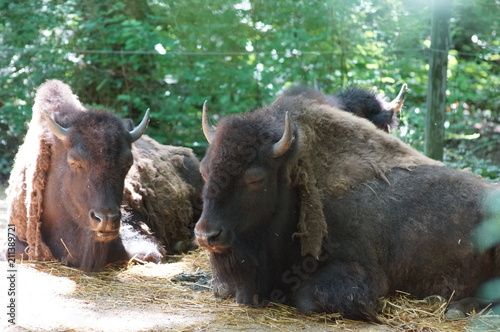 Fotobehang Bison Bison in the zoo