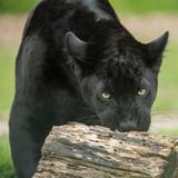 Beautiful portrait of black panther panthera pardus in colorful landscape - 211402555