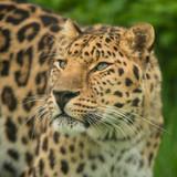 Beautiful close up portrait of Jaguar panthera onca in colorful vibrant landscape - 211402589