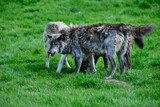 Beautiful Timber Wolf Cnis Lupus stalking and eating in forest clearing landscape setting - 211402777