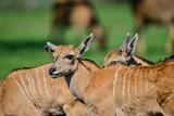 Young Eland Antelope animal Taurotragus Oryx in Summer - 211402792