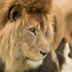 Beautiful intimate portrait image of King of the Jungle Barbary Atlas Lion Panthera Leo