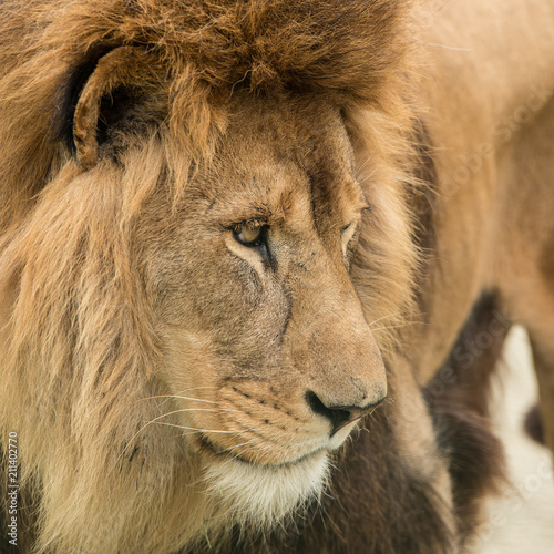 Beautiful intimate portrait image of King of the Jungle Barbary Atlas Lion Panthera Leo - 211402770