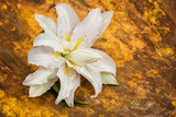 lush white lily on a mottled brown-orange paper background with marble