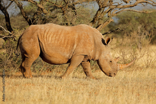 Plexiglas Neushoorn A white rhinoceros (Ceratotherium simum) grazing in natural habitat, South Africa.