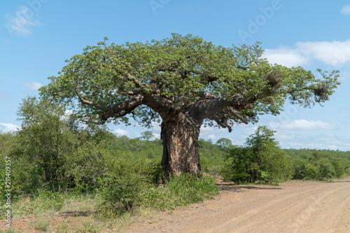Fotobehang Baobab Afrikanischer Affenbrotbaum in einem Nationalpark in Südafrika