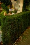 Trimmed, Bush shaped in garden design - 211411584