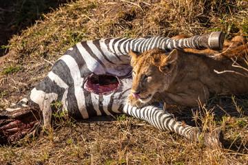 The lion is on the hunt. Kenya. Lions of Africa. The lion hunts a zebra. Zebra. Savannah of Kenya.