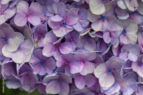 Foto Murales Arrangement of Purple Flower Petals
