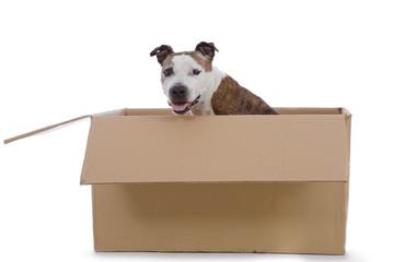 chien senior de race american Staffordshire terrier dans caisses en carton