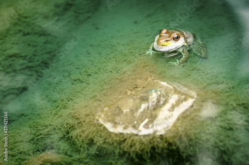 Fotobehang Kikker frog, pond, water, nature, toad,