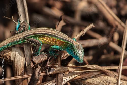 Fototapeta Lizard in the rainforest, colombia