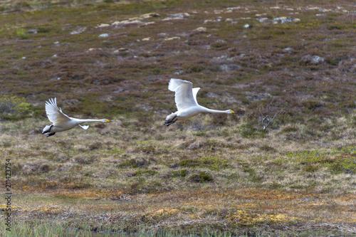 Fotobehang Zwaan Swan in flight.Tromso.Norway