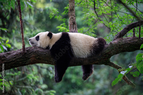 Lazy Panda Bear Sleeping on a Tree Branch, China Wildlife. Bifengxia nature reserve, Sichuan Province.