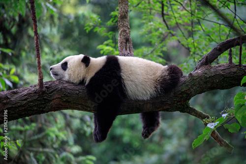 Fotobehang Panda Lazy Panda Bear Sleeping on a Tree Branch, China Wildlife. Bifengxia nature reserve, Sichuan Province.