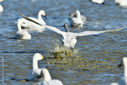 Fotobehang Zwaan 池の白鳥
