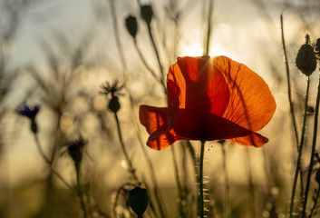 poppy flower at a corn field in backlight during evening hours