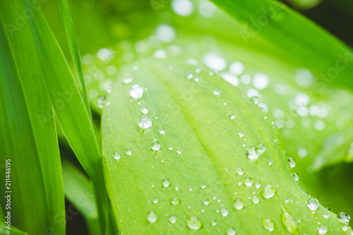 Fresh green leaves with water drops in the garden. Selective focus. Shallow depth of field. - 211446195