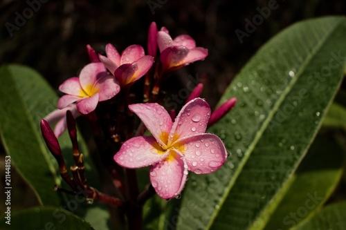 Plexiglas Plumeria Close up of beautiful rain kissed pink plumeria (frangipani) flowers