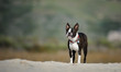 Boston Terrier dog outdoor portrait standing on beach sand