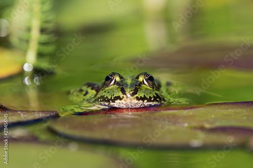 Fotobehang Kikker European green frog in the water facing the viewer