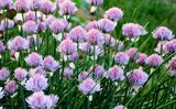 Chives onion at the time of flowering in the garden in summer. - 211467312