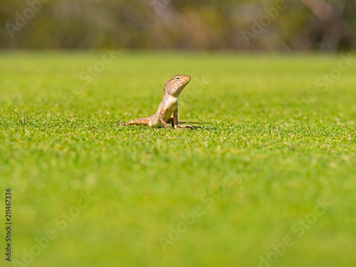 Aluminium Kameleon Close up Lizard, (Iguana, Gecko, Skink) crawling on the grass at green background ,wildlife and animal concept.