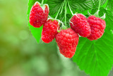 raspberries on the bush - 211468956